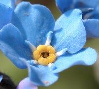 In Wirklichkeit ist diese Blume entsetzlich klein und kommt in Püscheln vor. Das Blau ist aber auch in echt phantastisch!