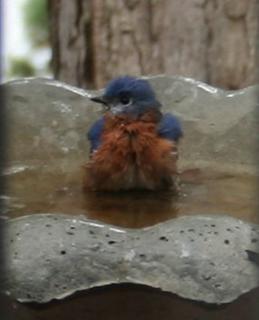bluebirds in bath