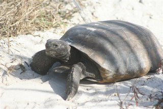 don pedro island turtle
