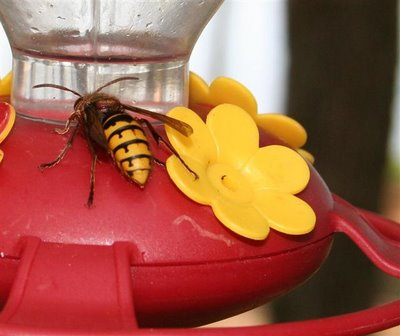 bee on hummingbird feeder