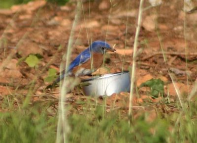 bluebirds eating mealworms