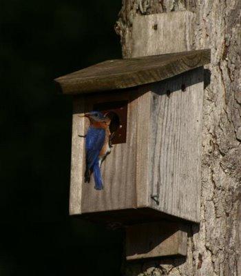 bluebird feeding babies