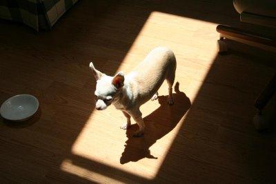 chihuahua in sun
