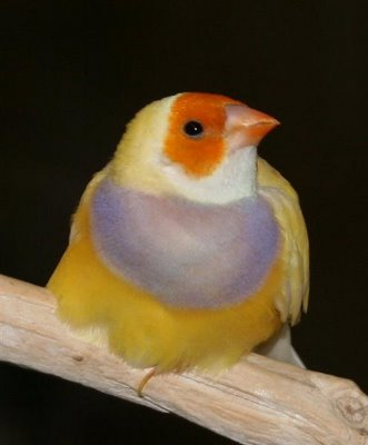 orange head purple breast female gouldian finch