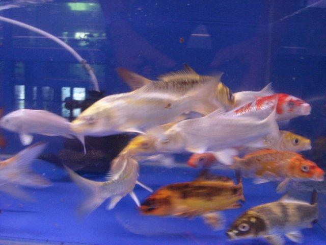 Aquarium lore jinjin and sasa adventure in pasir ris for Baby koi fish for sale cheap