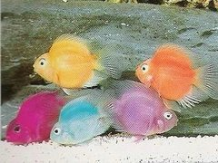 Kinds as well 7448s Early Signs Pregnancy Platy What likewise N7lLKLGhMdQ besides 178525572700399988 together with Fish Tank Discus And Other Beautiful Fish. on oscar cichlid babies
