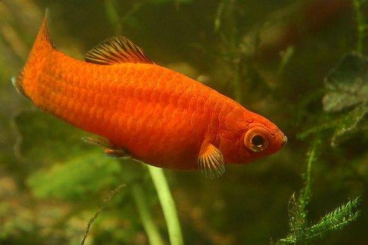 Aquarium lore platy for Platy fish breeding