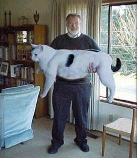 Funny Huge Cat