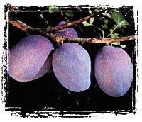prunes food