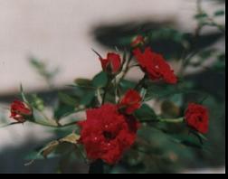 Ramillete de rosas - Foto susana colucci - Venezuela