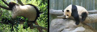 pandas in repose