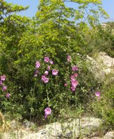 Alcea rosea 'Rosa', Gül Hatmi