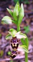 Ophyrs sp., orkide