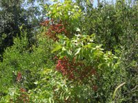 Pistacia terebinthus (melengiç)