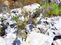 a rock plant