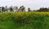 A view from a wild mustard field in Adana, Turkey