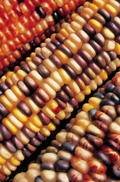 Korean maize