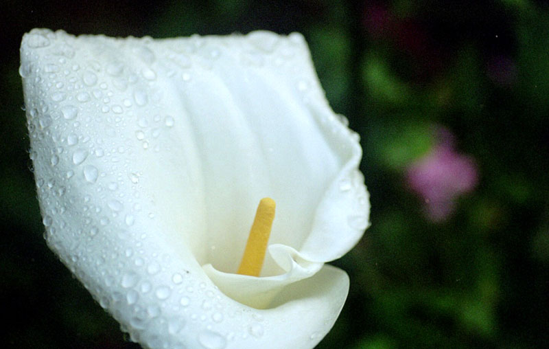 calla lily; click for previous post