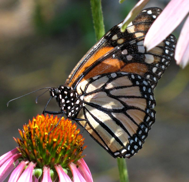 capistrano monarch; click for previous post