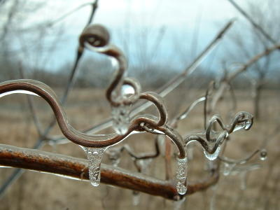 Frozen vines in Iowa