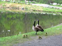 Geese and goslings at Rockefeller Preserve