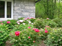 Peonies in bloom at Rockefeller Preserve