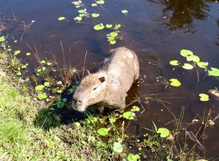 A capivara do Bosque da Barra I