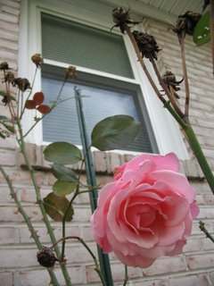 pink rose and window