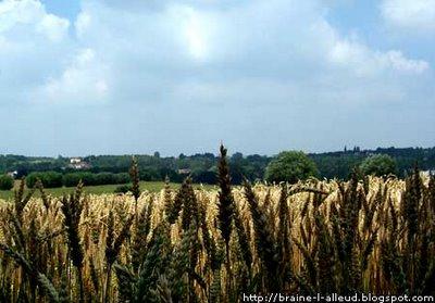 Champ de blé à braine l'alleud