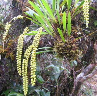 Dendrochilum sp. orchid