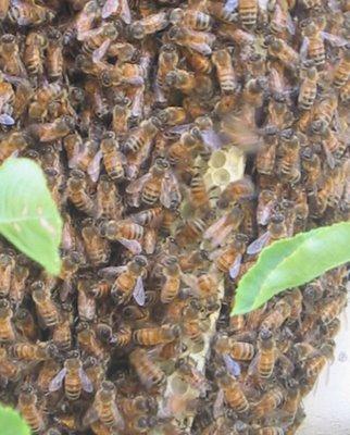 Photo of honeybees on new honeycomb