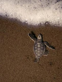 Green turtle (Chelonia mydas) hatchling at Tortuguero National Park, Costa Rica. (Photo:Kevin Shafer/Getty Images)