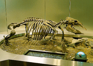Skeleton of a Desmostylus hesperus at the Geological Museum of Geological Survey in Tsukuba, Japan - Museum photo