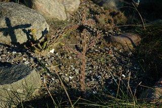 Drooping Cylindropuntia viridiflora
