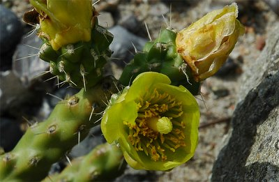 Cylindropuntia whipplei flower