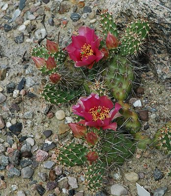 Flowering Opuntia 'Claude Arno'