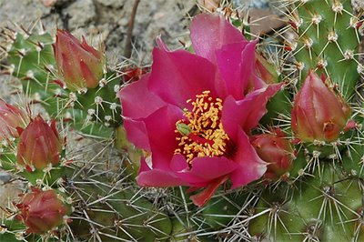 Opuntia 'Claude Arno' flower close-up