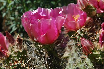 Flowering Opuntia Claude Arno