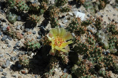 Group of Opuntia fragilis plants