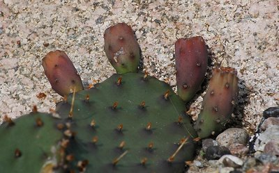 Opuntia humifusa fruits