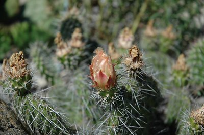 Opuntia polyacantha with spent flowers