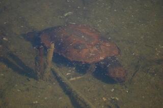 Turtle swimming in the lake