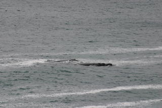 Two whales swimming together