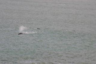 3 whales swimming at Gordon's Bay