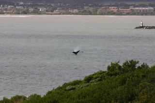 Whale sailing close to shore @ Gordon's Bay