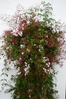 Jasmine in bloom