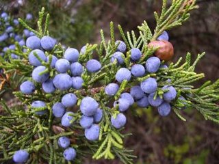eastern red cedar berries