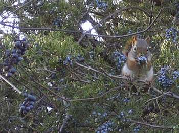 red squirrel eating red cedar berries