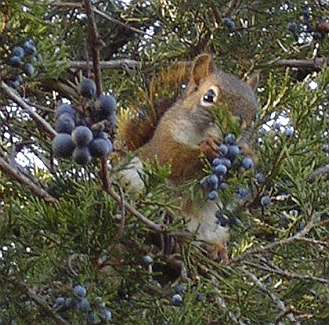 squirrel surrounded by red cedar berries and wild grapes