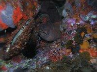 Murión con dos gambas lady escarlata
